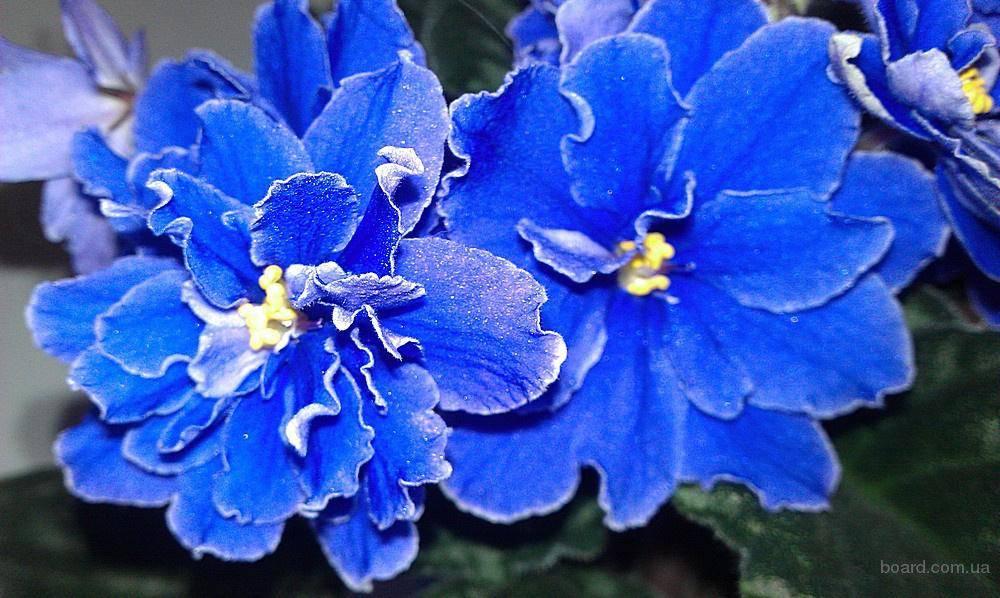 Все сорта синих сенполий фото и название