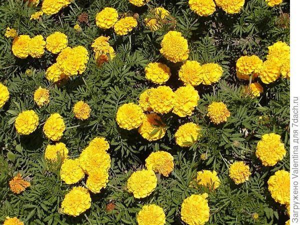 Сорта крупноцветковых бархатцев и их выращивание