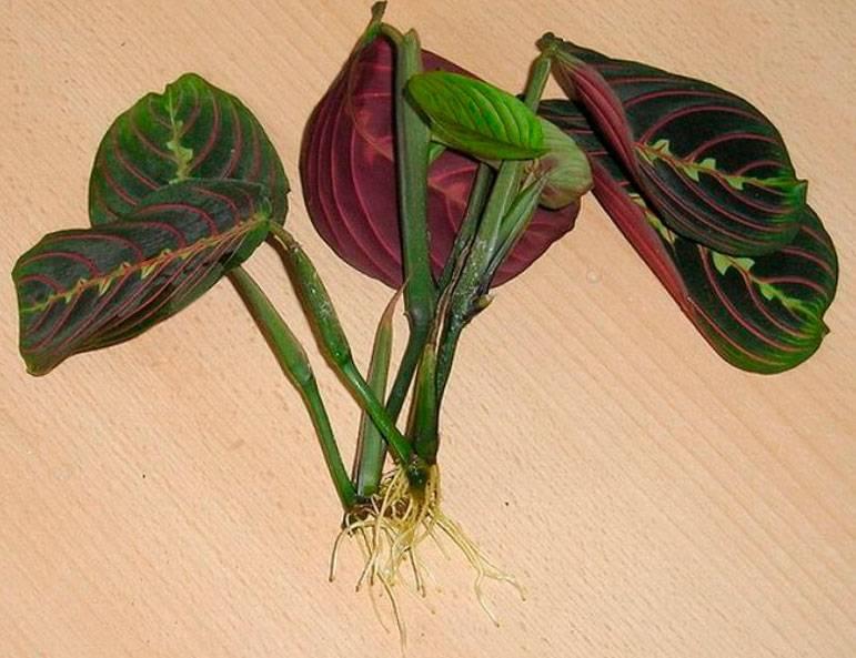 """Маранта: уход за """"молящимся"""" растением в домашних условиях"""