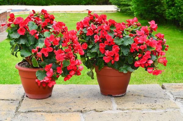 Смородина красная — голландская розовая, описание сорта и отзывы