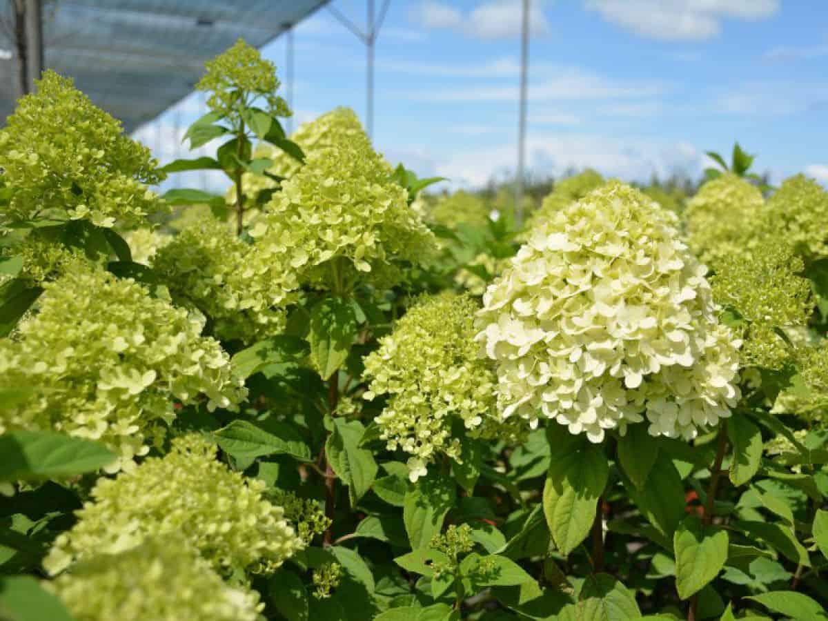 Гортензия лаймлайт: 5 правил выращивания