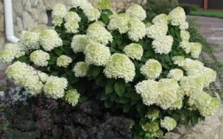 Гортензия метельчатая «литл лайм»: описание и выращивание