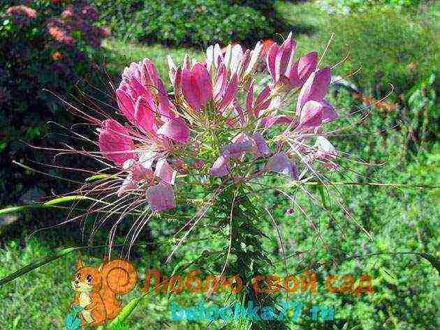 Цветок клеома фото и правила выращивания