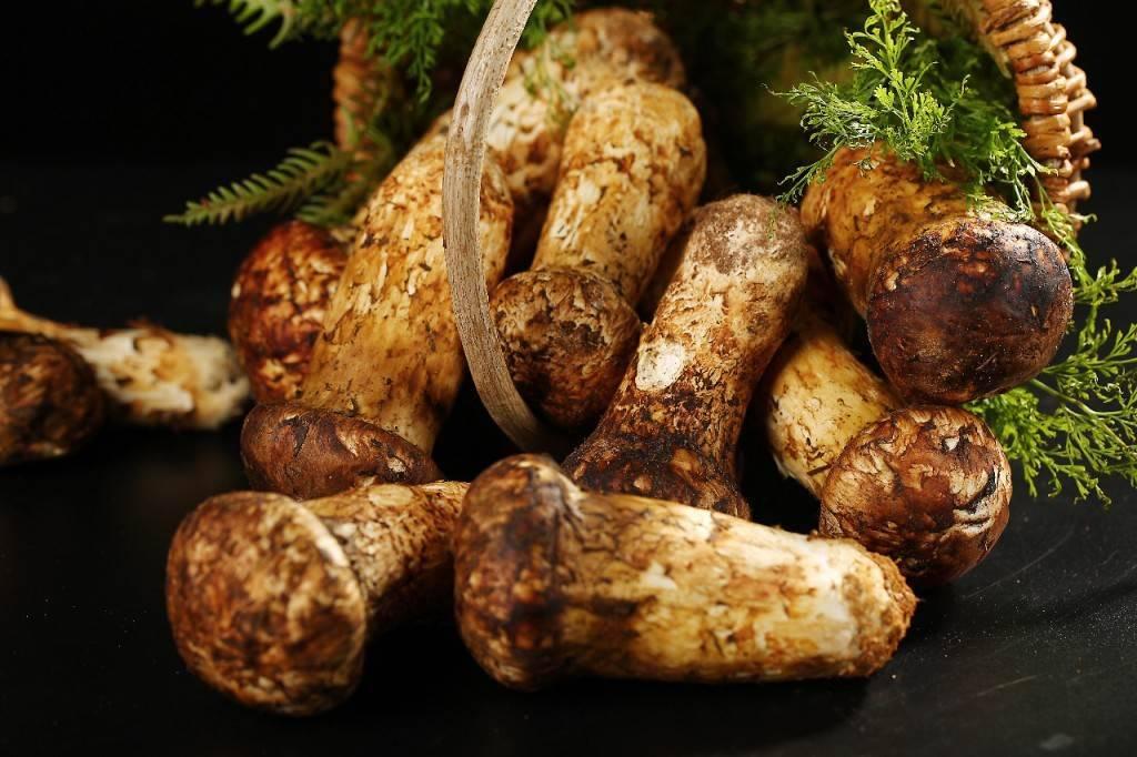 Описание грибов мацутакэ