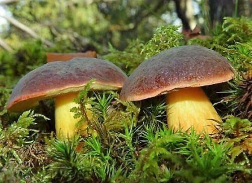 Редкий и вкусный боровик — полубелый гриб