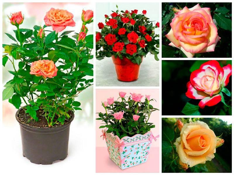 большой роза комнатная виды фото и названия обои для обязан