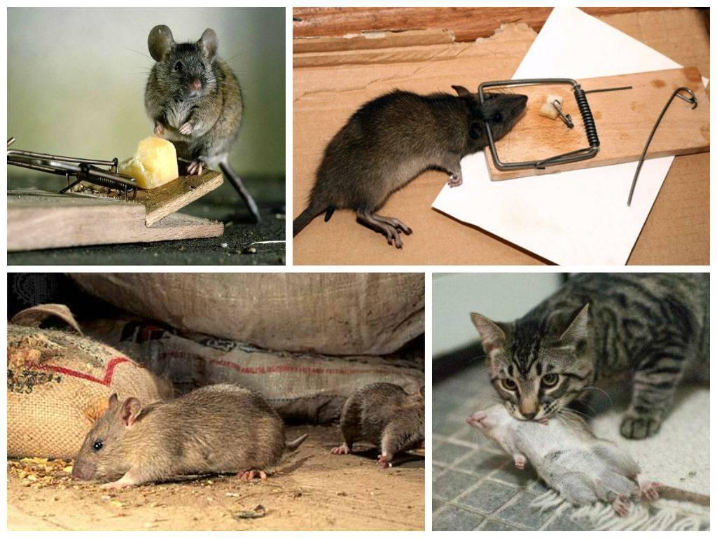 Опасен ли запах дохлой мыши. как навсегда избавиться от мышиного запаха в доме