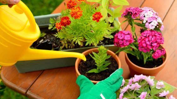 Бегония из семян — пошаговое выращивание в домашних условиях