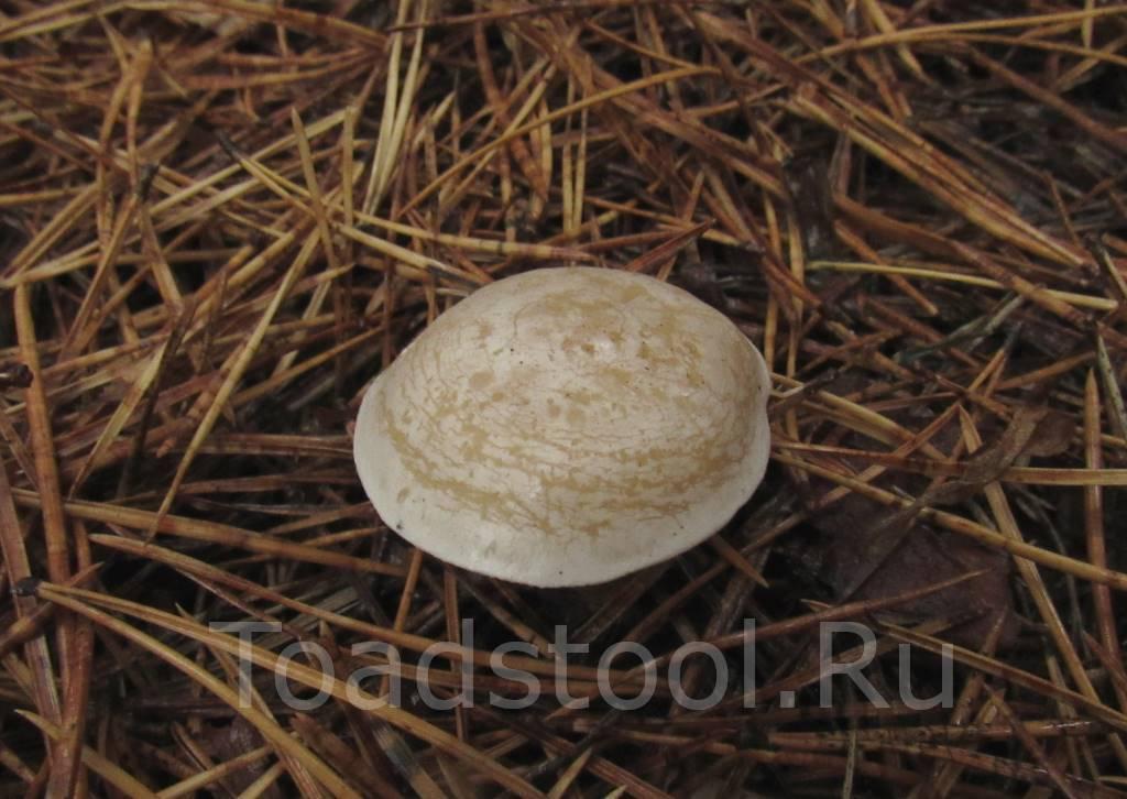 Говорушка беловатая – гриб, несущий смерть