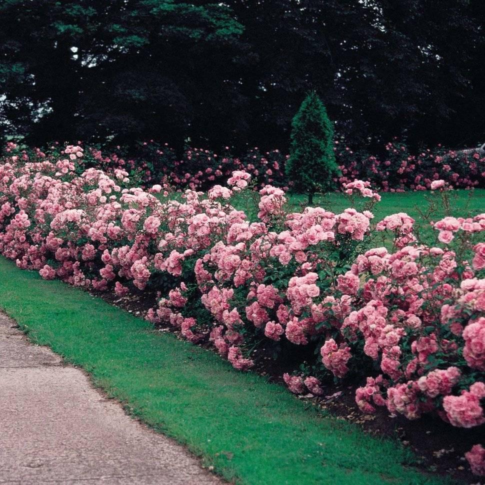 почвопокровные розы в ландшафтном дизайне фото сбросила