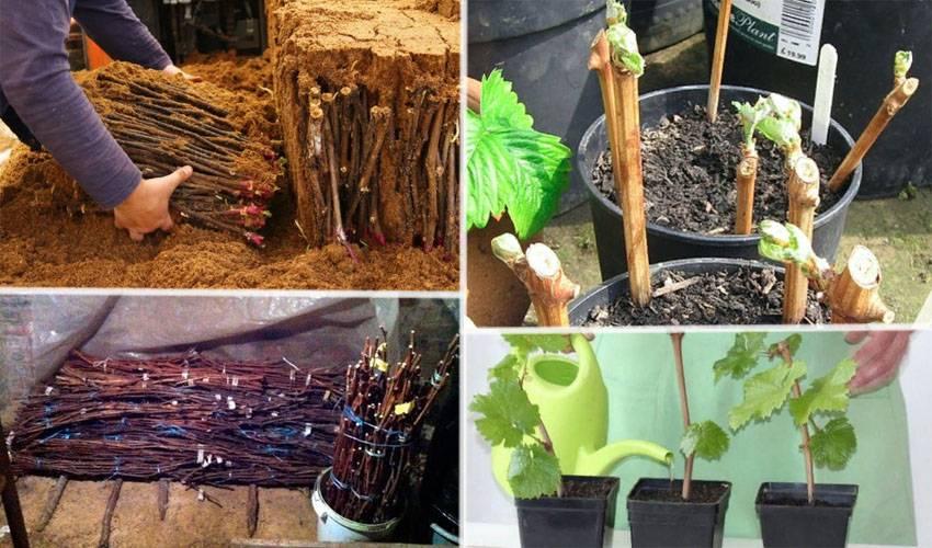 Как сохранить виноград свежим до зимы?