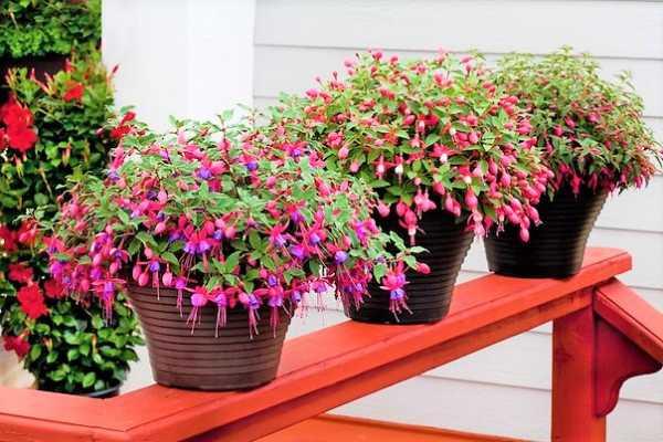 Выращивание и уход в домашних условиях за растением фуксия (фото комнатного цветка)