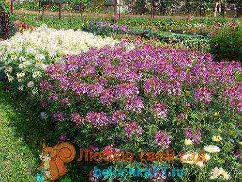 Клеома — «коронованная» красавица с бабочками-цветами