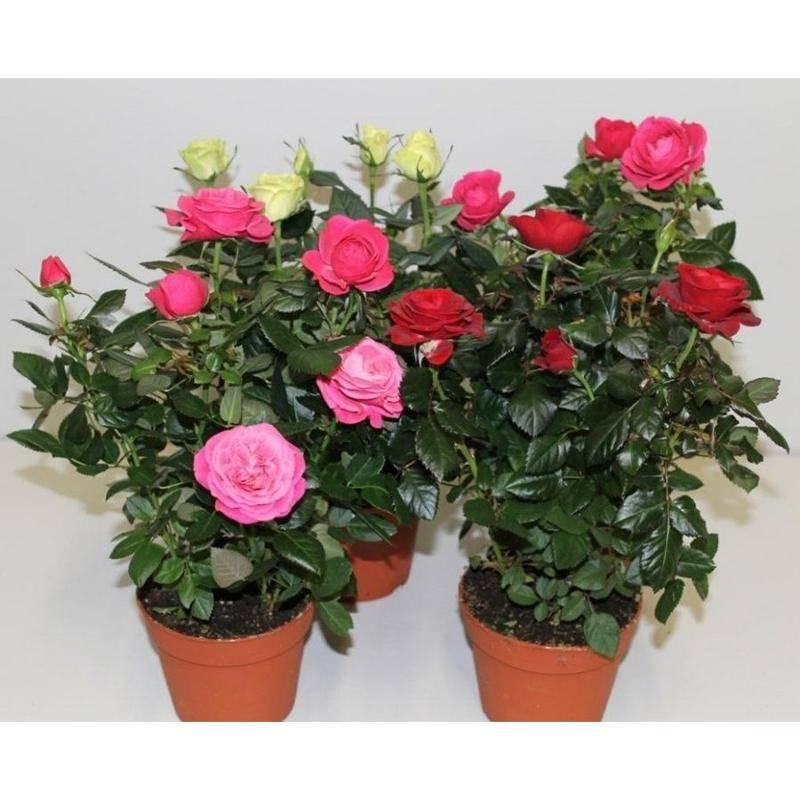 емкость углекислотного разновидности комнатных роз фото время виктория вообще