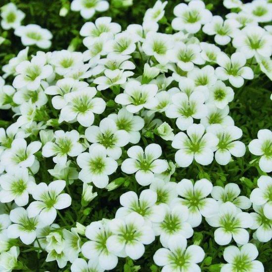 Катарантус — выращивание из семян: когда сажать на рассаду