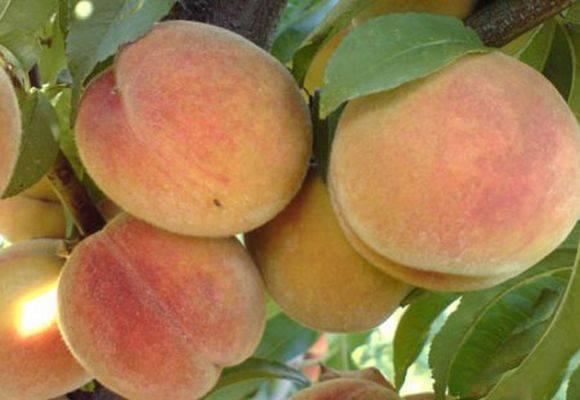 Эхмея: уход в домашних условиях, особенности выращивания
