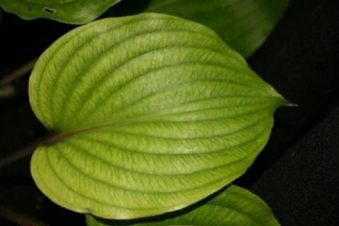 Хоста: описание видов и сортов, секреты выращивания и размножения