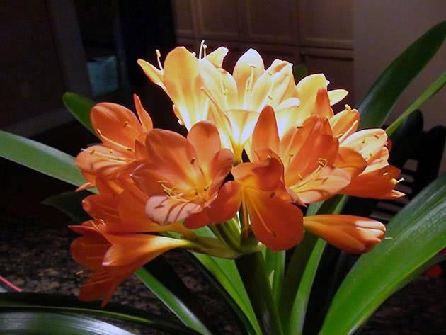 Кливия — уход в домашних условиях, виды и выращивание цветка ?