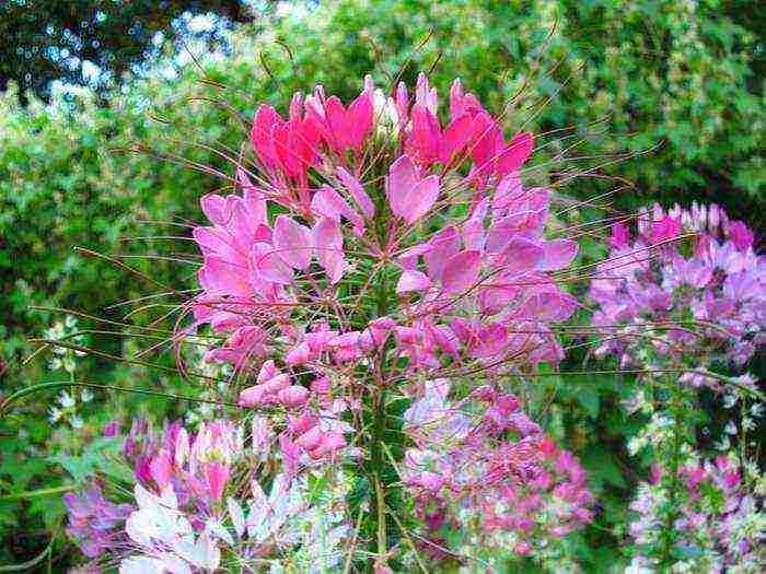 Клеома цветок — описание и особенности ухода за культурой