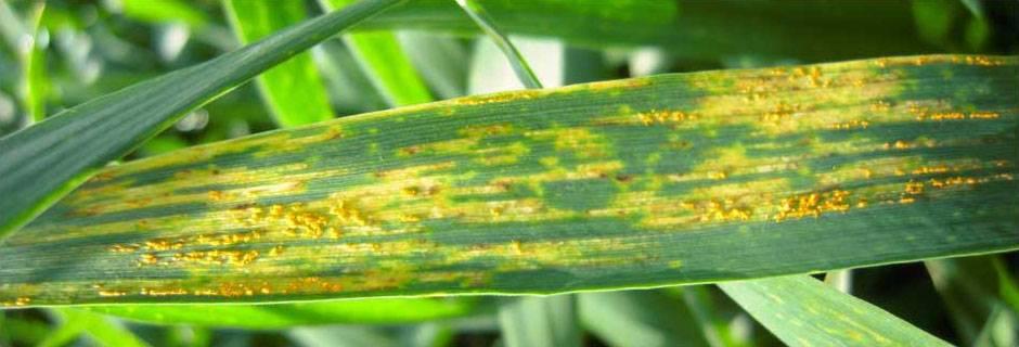 Ржавчина желтая зерновых культур
