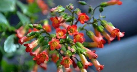 Виды и сорта каланхоэ
