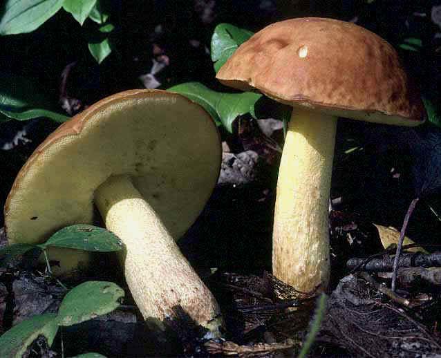 Обабок чернеющий – теплолюбивый гриб