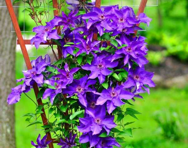 Цветы клематисы: их сорта и фото