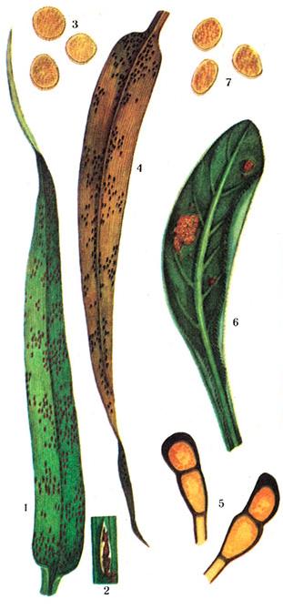 Puccinia recondita rob. ex desm f. sp. tritici