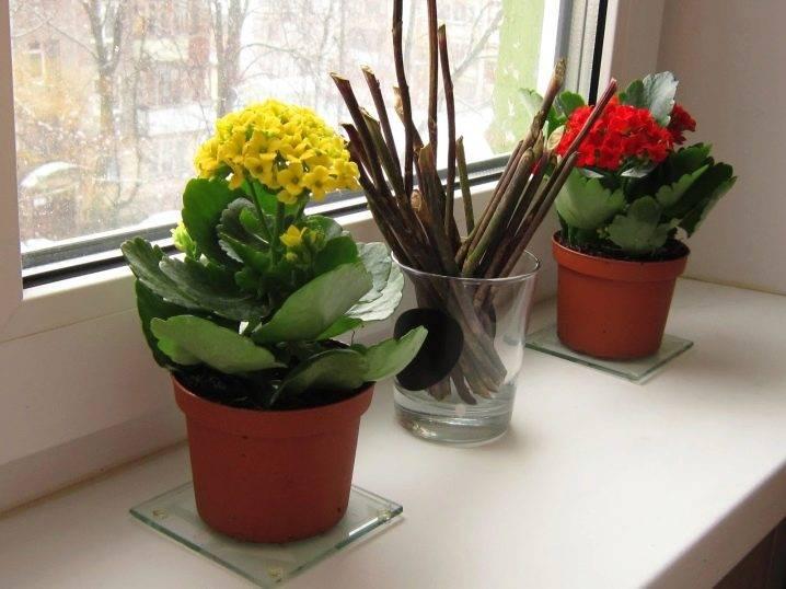 Как обрезать каланхоэ? правила его обрезки после цветения и последующий уход в домашних условиях. как сформировать красивый куст?