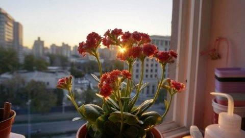 Розалина — декоративный каланхоэ