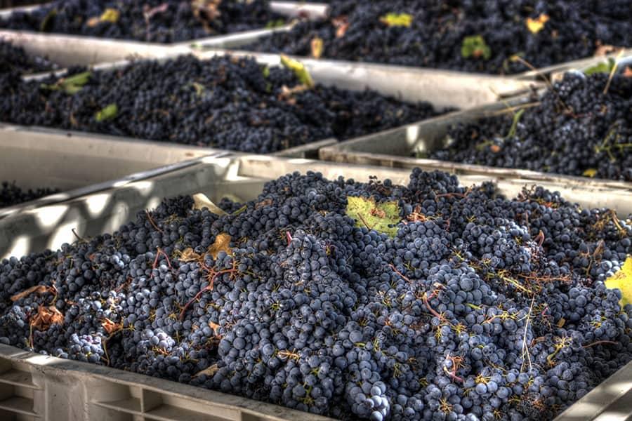 Как сохранить виноград зимой. как сохранить виноград в домашних условиях