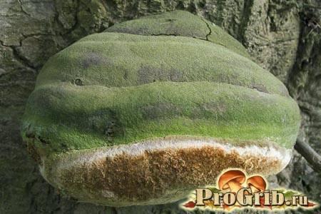 Трутовик гартига – гриб-паразит
