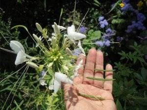 Когда и как посадить клеому, чтобы к началу лета она уже цвела: секреты практика