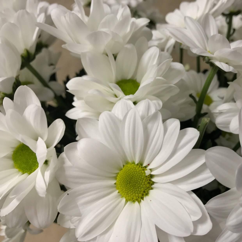 ромашковидные хризантемы фото анимированные