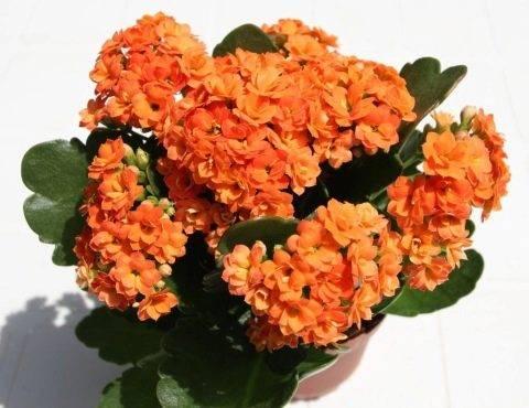 Каланхоэ блоссфельда: выращивание, уход в домашних условиях