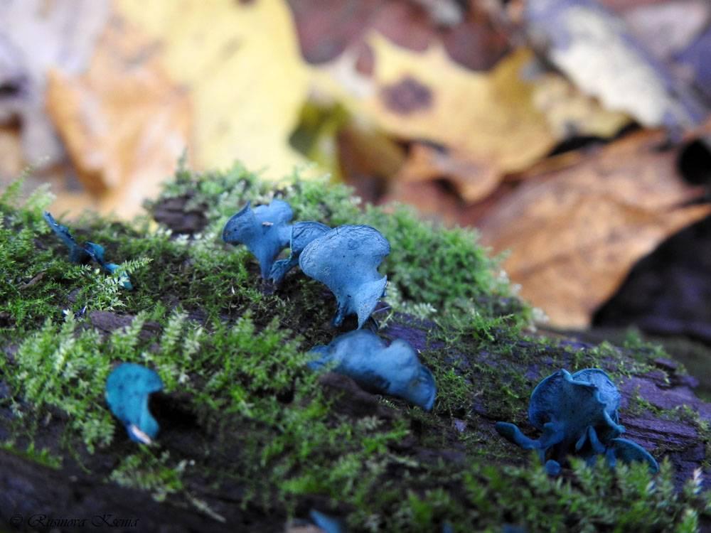 Хлороцибория сине-зеленоватая – гриб, который ценят резчики по дереву