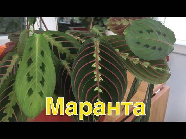 Маранта - уход в домашних условиях, размножение, обрезка