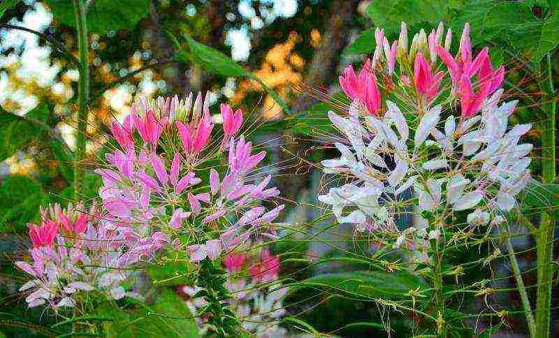 Цветок клеома: выращивание из семян, фото, посадка и уход в открытом грунте