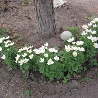 Ветреница (анемона): виды и сорта цветов