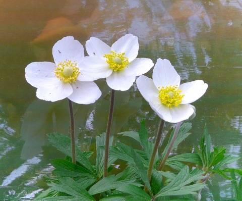Анемоны: выращивание из семян в саду