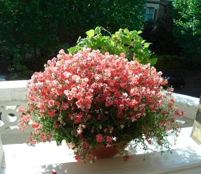 Немезия — «цветок возмездия»: посадка и уход