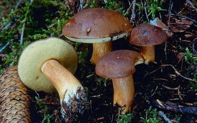 Съедобные грибы украины: топ-15