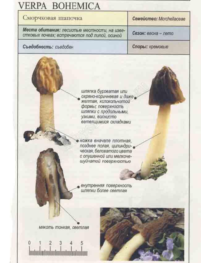 Гриб сморчковая шапочка — описание, фото, как приготовить