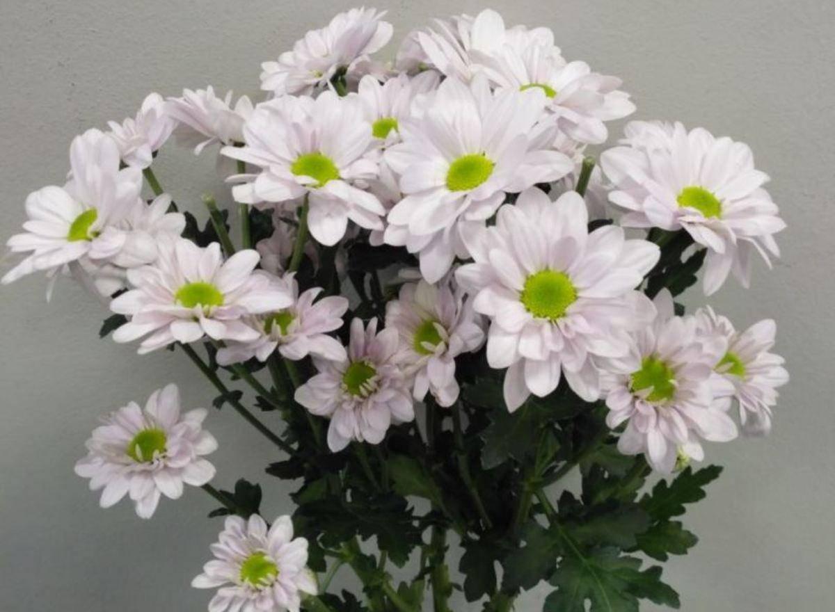 стойка ромашковидные хризантемы фото любые