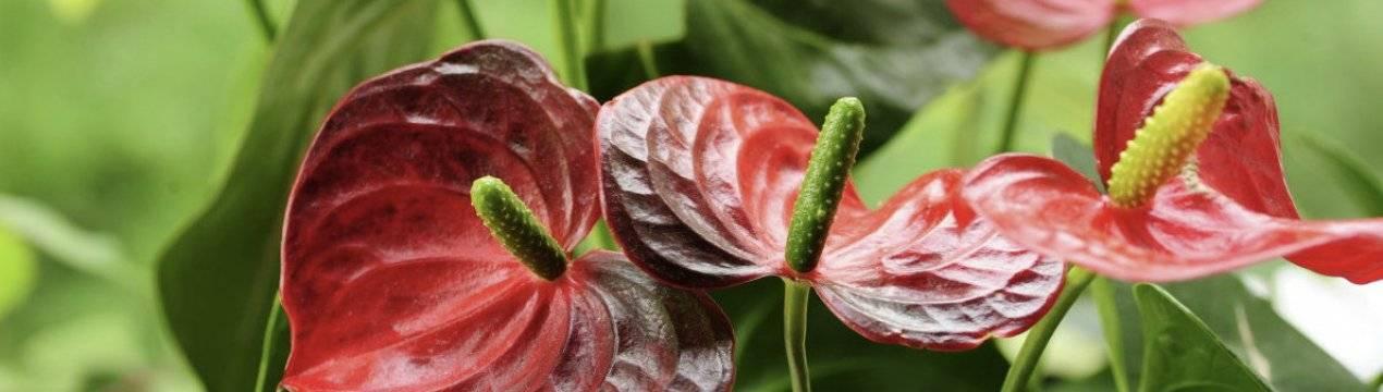 Цветок антуриум — почему чернеют и сохнут листья и цветы