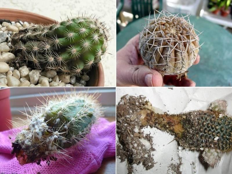 У кактуса загнили корни. Что делать и как спасти растение