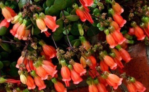 Виды, фото и название каланхоэ цветущих и лечебных