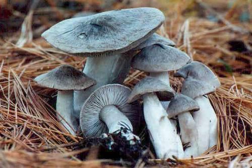 Рядовка сельдерейная (tricholoma apium)