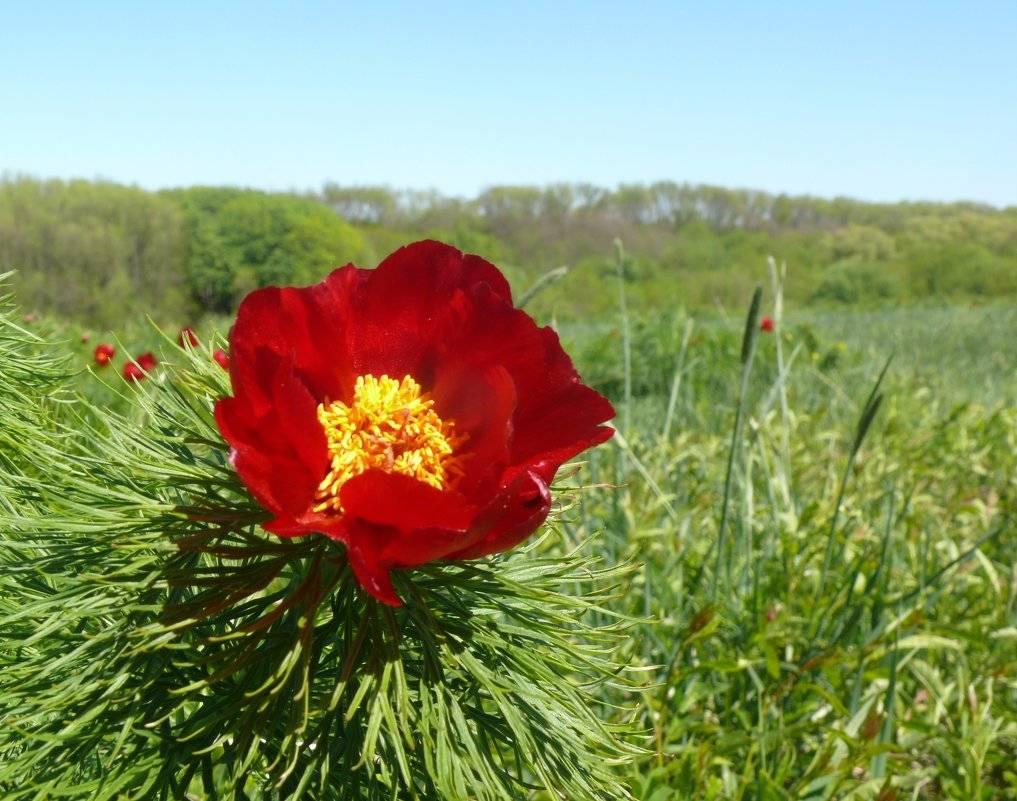 Лазоревый цветок фото