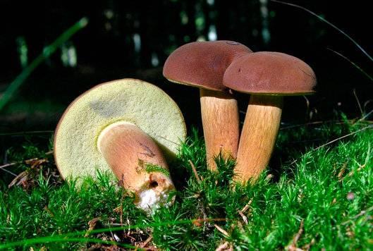 Как распознать ложный польский гриб